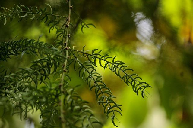 rostlina šatavari