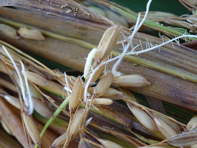 klíčící semena rýže.jpg